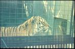 tiger_old